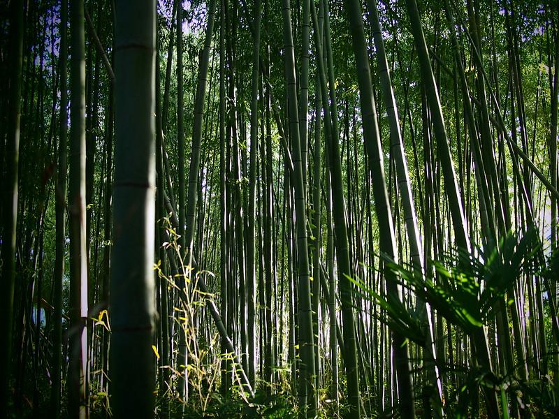 Visiting Arashiyama's famous bamboo groves in Kyoto