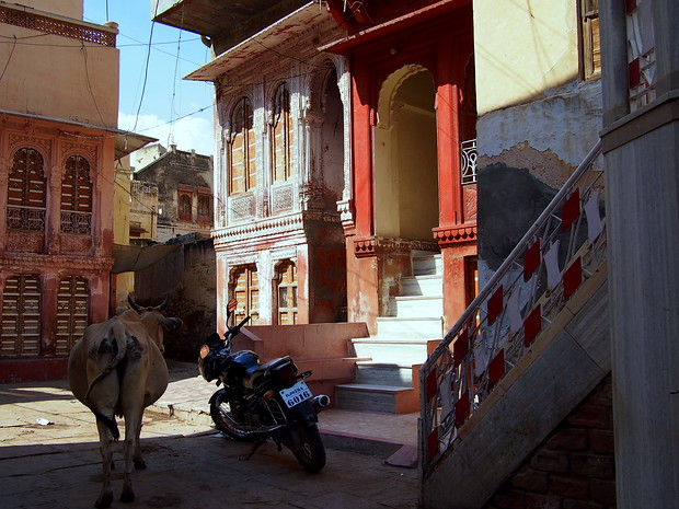 Cow in Bikaner