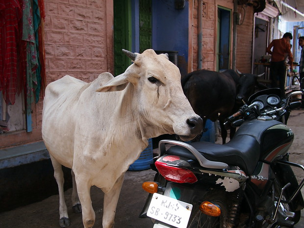 cows in india: Bikaner