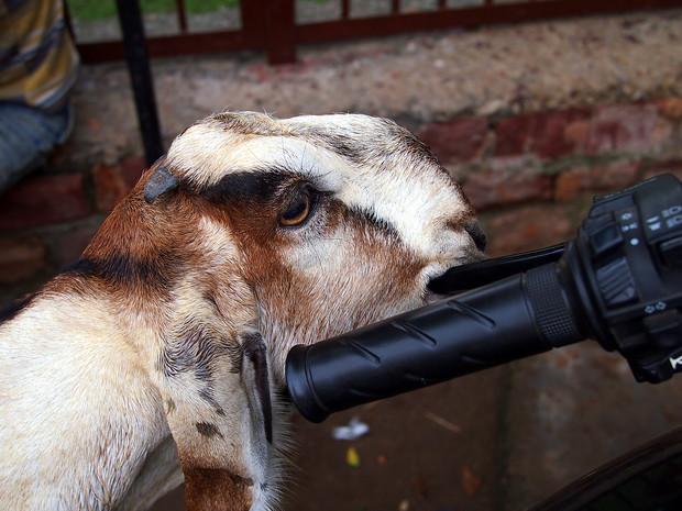 goat eating a motorbike