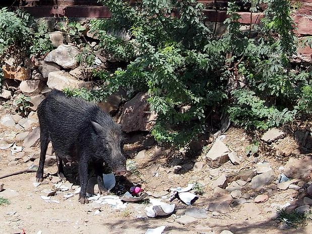 boar india