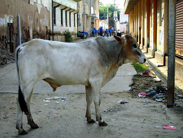 travel to northern india: cows aplenty
