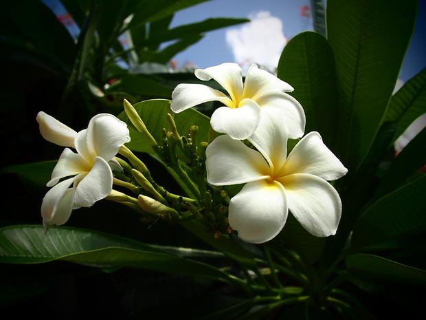 frangipani india
