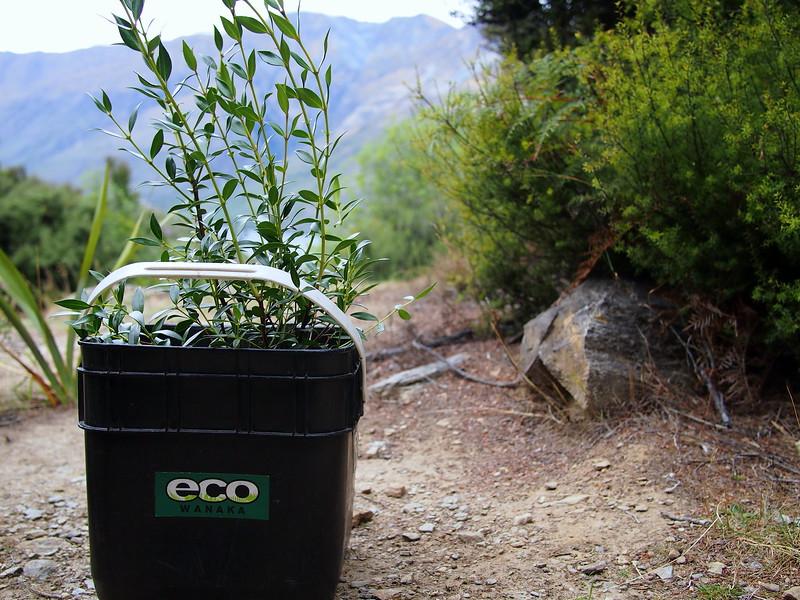 eco wanaka adventures tree planting