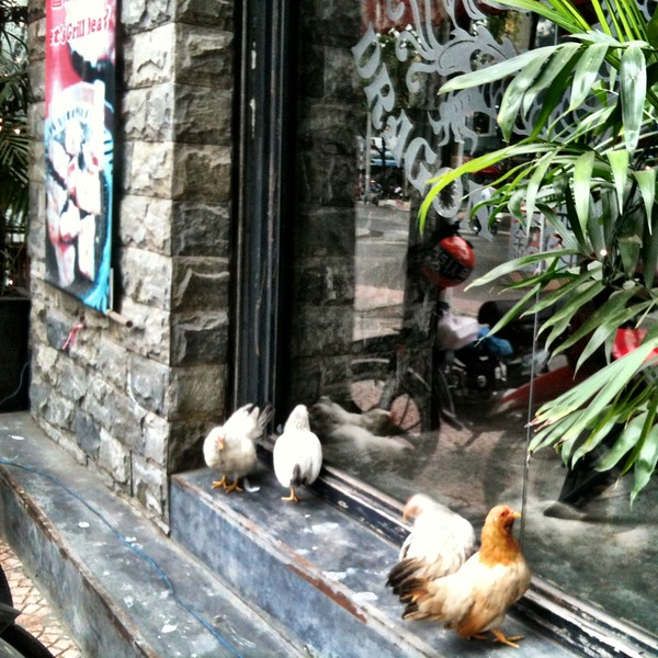 urban chicken vietnam