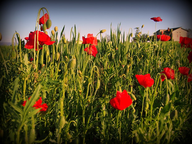 Poppies in the grass in Italy