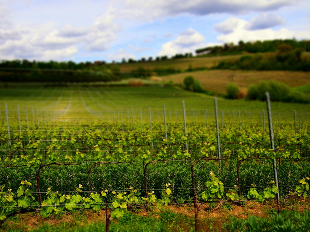 Vineyard from Terre Margaritelli