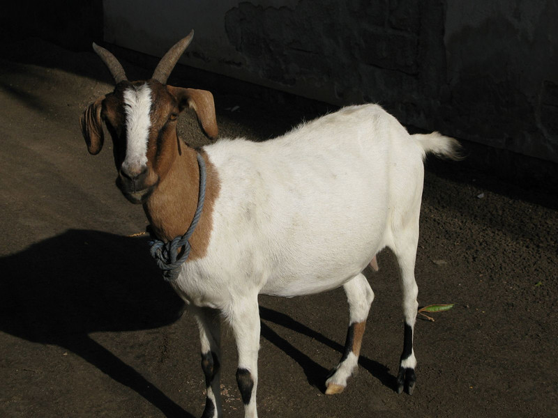 the translation of no problem does not help with goats.