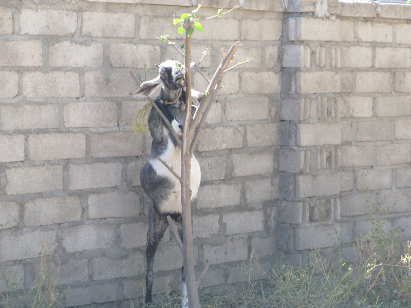 goat eating a tree