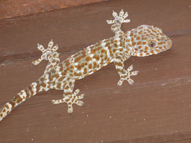 gecko on the perhentian islands