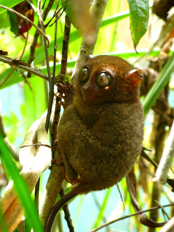tarsier on bohol