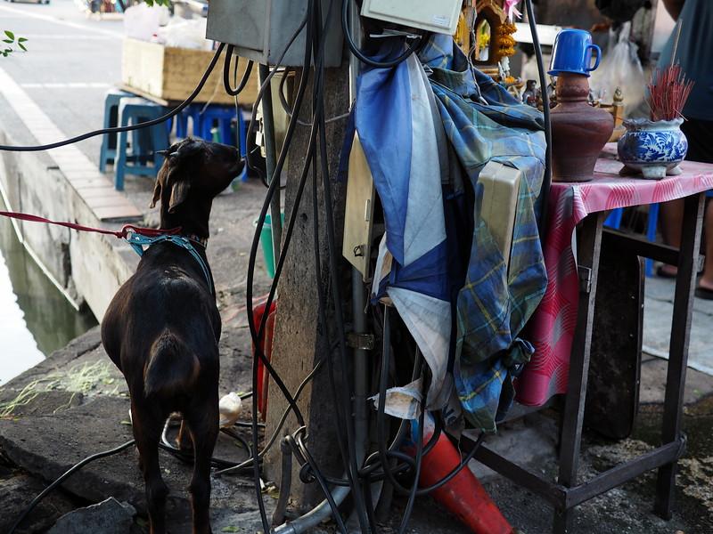 Pet goat in Chiang Mai
