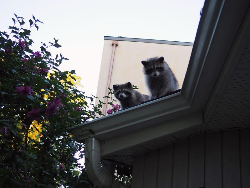 racoons toronto